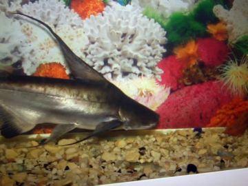 Un tiburón como mascota