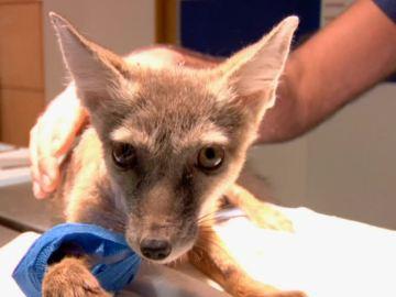 Operamos la patita de un zorro plateado
