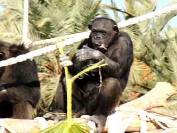 Visitamos a una familia de chimpancés en un safari en pleno Elche